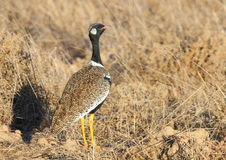 Southern Black Bustard Royalty Free Stock Images