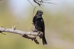 Southern black-flycatcher, Melaenornis pammelaina Royalty Free Stock Photo