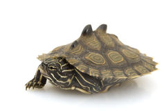 Southern Black-Knob Map Turtle. (Graptemys nigrinoda) on white background Royalty Free Stock Photos