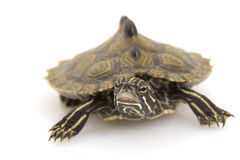 Southern Black-Knob Map Turtle. (Graptemys nigrinoda) on white background Stock Image