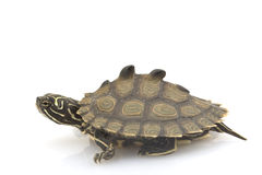 Southern Black-Knob Map Turtle. (Graptemys nigrinoda) on white background Royalty Free Stock Image