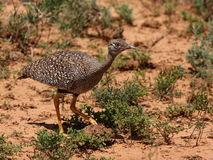 Southern Black Korhaan female. Stock Photo
