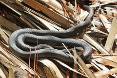 Southern black racer Coluber constrictor priapus Stock Photo