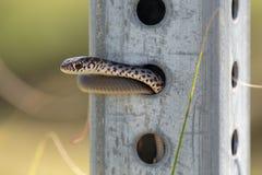 A juvenile Southern Black Racer Snake at Jonathan Dickinson State Park, Florida stock photo