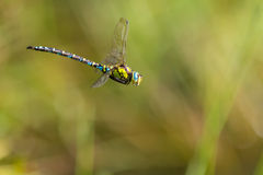 Southern blue hawker male Royalty Free Stock Photography