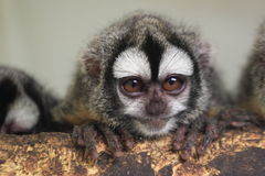 Southern Bolivian Night monkey. The detail of southern bolivian Night monkey Stock Image