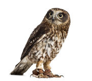Southern boobook (Ninox boobook)with jesses. In front of a white background Stock Photos