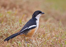 Southern Boubou Stock Images