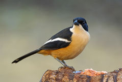 Southern Boubou adult breeding male. In suburbia garden stock photography