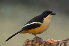Southern Boubou laniarius ferrugineus. Southern Boubou adult breeding male stock photography