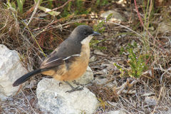 Southern boubou. Laniarius ferrugineus perched on a rock Royalty Free Stock Images