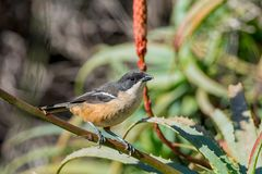 Southern Boubou. A Southern Boubou perched in an Aloe bush in Southern Africa stock photo