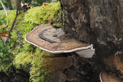 Southern Bracket fungus Stock Photos