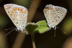 Southern Brown Argus Stock Images