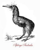 The southern brown kiwi, vintage engraving Royalty Free Stock Images