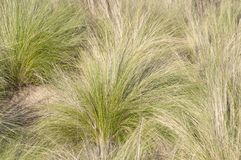 Southern California bunch grasses used in garden landscaping. Green and gold field of Southern California bunch grasses in mediterranean arid desert like stock photos