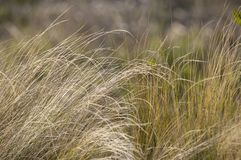 Southern California bunch grasses used in garden landscaping. Green and gold field of Southern California bunch grasses in mediterranean arid desert like stock photo