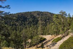 Southern California Standing Pine Trees Stock Images
