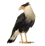 Southern Caracara (3 years) - Polyborus plancus Stock Photography
