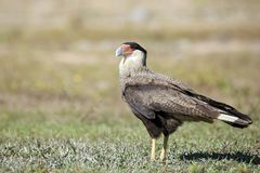 Caracara on the Ground, Royalty Free Stock Photo