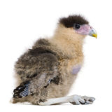 Southern Caracaras, 20 days old, Stock Photos