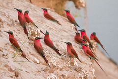 Southern Carmine Bee Eater. Colony, South Luangwa, Zambia royalty free stock photography