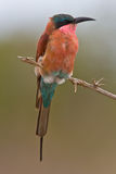 Southern Carmine Bee-eater. In song on twig with green out of focus background Stock Photos