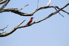 Southern Carmine Bee-eater Stock Photography