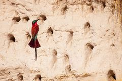 Southern carmine bee-eater at entrance to burrow royalty free stock photo