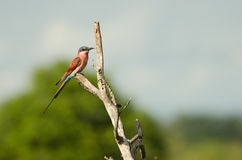 Southern Carmine Bee-Eater. (Merops nubicoides) on Branch, Kruger National Park royalty free stock images