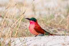 Southern Carmine Bee-eater Royalty Free Stock Photos