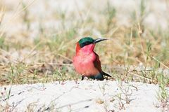 Southern Carmine Bee-eater, Merops nubicoides to nest at the river Okavango Royalty Free Stock Images