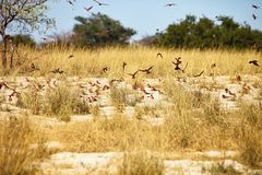 Southern Carmine Bee-eater, Merops nubicoides to nest at the river Okavango Stock Photos