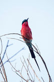 Southern Carmine Bee-eater - Okavango Delta - Moremi N.P. Royalty Free Stock Image