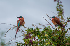 Southern Carmine Bee Eater. A pair of Southern Carmine Bee Eaters Royalty Free Stock Photography
