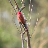 Southern Carmine Bee-eater. A Southern Carmine Bee-eater perched on a branch in Namibian savanna Royalty Free Stock Photos