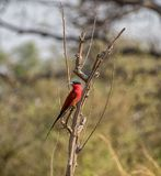 Southern Carmine Bee-eater. A Southern Carmine Bee-eater perched on a branch in Namibian savanna Royalty Free Stock Photo