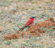 Southern Carmine Bee-eater. A Southern Carmine Bee-eater perched on the ground in Namibian savanna Stock Images