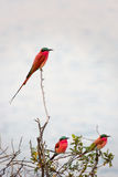 A Southern Carmine Bee-eater photographed on the banks of the Zambezi River at a nesting site in Namibia Kalizo Stock Images