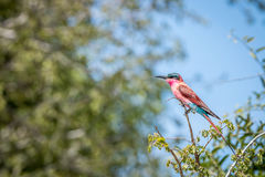 Southern carmine bee-eater sitting on a branch. Southern carmine bee-eater sitting on a branch in the Kruger National Park, South Africa Stock Photos