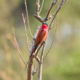 Southern Carmine Bee-eater. A Southern Carmine Bee-eater perched in a treee in Namibian savanna Royalty Free Stock Image