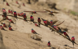 Southern Carmine Bee-eaters (Merops nubicoides). Perched on a branch Stock Photography