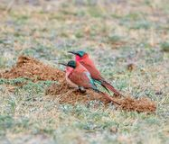 Southern Carmine Bee-eaters. A pair of Southern Carmine Bee-eaters perched on the ground in Namibian savanna Royalty Free Stock Photo