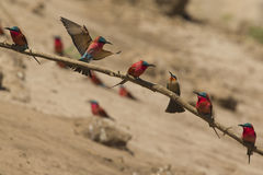 Southern Carmine Bee-eaters and a White-fronted Bee-eater. Southern Carmine Bee-eaters (Merops nubicoides) and a White-fronted Bee-eater (Merops bullockoides Royalty Free Stock Photos