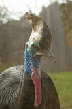 Southern cassowary Stock Images