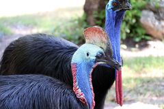 Southern cassowary bird or double-wattled cassowary. royalty free stock photo