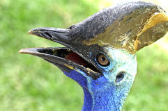 Southern cassowary : casuarius casarius bird Royalty Free Stock Image