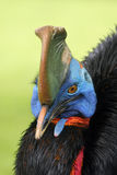 Southern cassowary. The southern cassowary Casuarius casuarius also known as double-wattled cassowary, Australian cassowary or two-wattled cassowary, portrait stock image