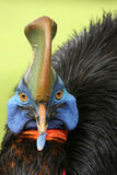 Southern cassowary. The southern cassowary Casuarius casuarius also known as double-wattled cassowary, Australian cassowary or two-wattled cassowary, portrait royalty free stock photos
