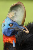 Southern cassowary. The southern cassowary Casuarius casuarius also known as double-wattled cassowary, Australian cassowary or two-wattled cassowary, portrait Royalty Free Stock Photography